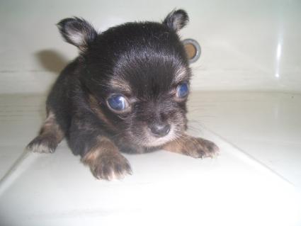 チワワの子犬販売No.200907093