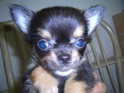チワワの子犬販売No.200906261