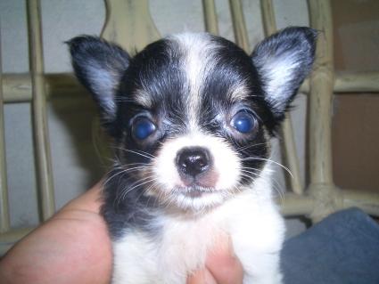 チワワの子犬販売No.200906262