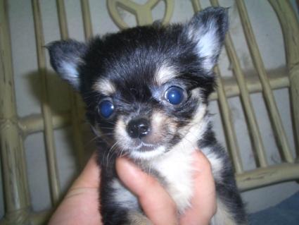 チワワの子犬販売No.200906263