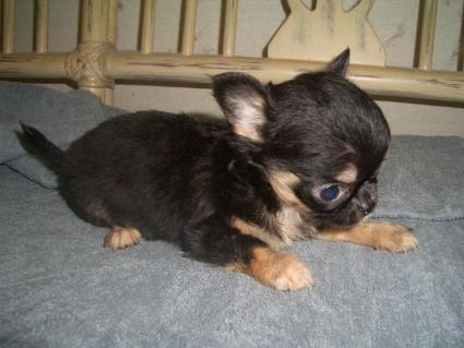 チワワの子犬販売No.200906264