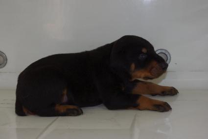 ドーベルマンの子犬