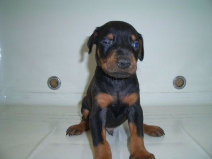 ドーベルマンの子犬の写真