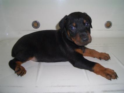 ドーベルマンの子犬販売No.200909087