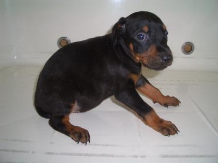 ドーベルマンの子犬販売No.200909088