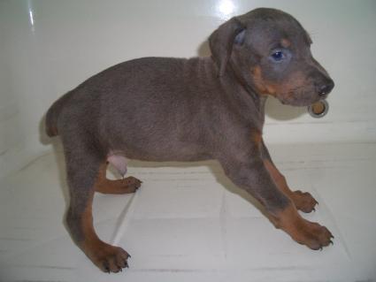 ドーベルマンの子犬販売No.200909081