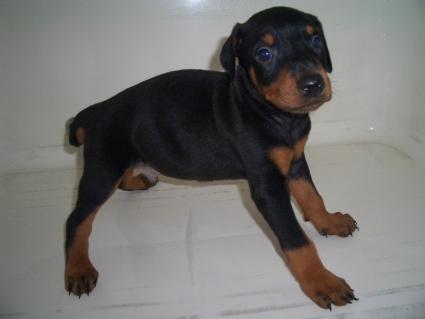 ドーベルマンの子犬販売No.200909082