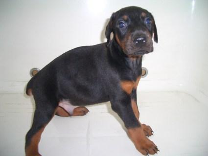 ドーベルマンの子犬販売No.200909083