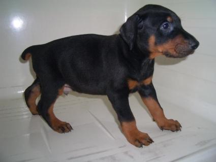 ドーベルマンの子犬販売No.200909084