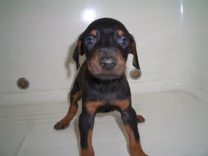ドーベルマンの子犬販売No.200909085