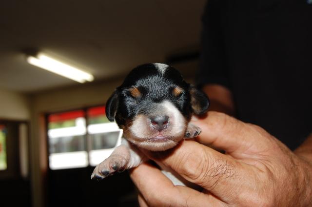 ミニチュアダックスフンドの子犬4