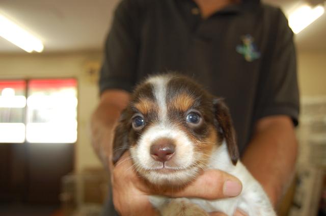 ミニチュアダックスフンドの子犬1