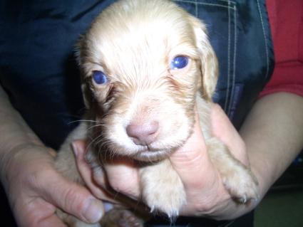 ミニチュアダックスフンドの子犬販売No.200912171