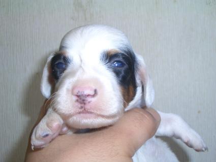 ミニチュアダックスフンドの子犬No.200903091