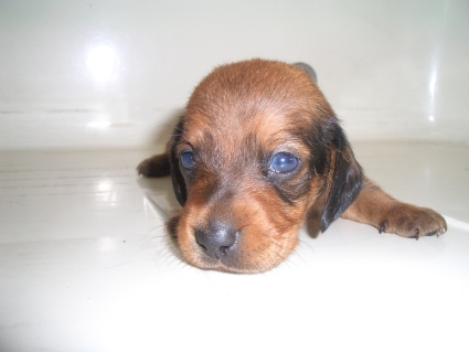 ミニチュアダックスフンドの子犬No.200905291