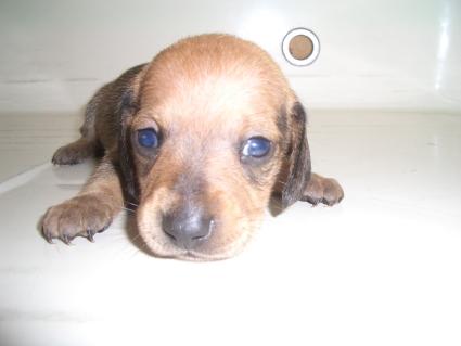 ミニチュアダックスフンドの子犬No.200905292