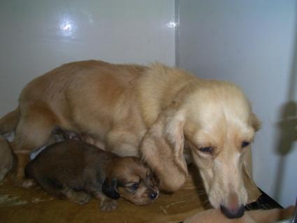 ミニチュアダックスフンドの子犬の写真