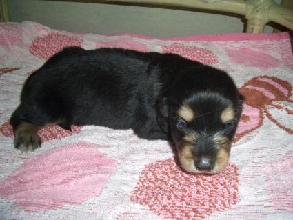 ミニチュアダックスフンドの子犬No.200906032