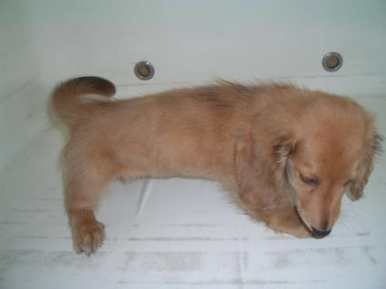 ミニチュアダックスフンドの子犬No.200905041