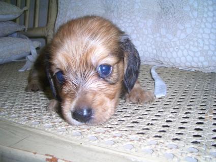 ミニチュアダックスフンドの子犬No.200906031