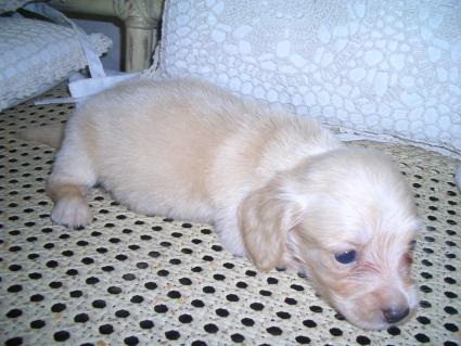 ミニチュアダックスフンドの子犬No.200906036