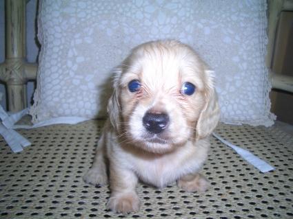 ミニチュアダックスフンドの子犬No.200906033