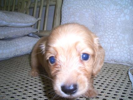 ミニチュアダックスフンドの子犬No.200906034