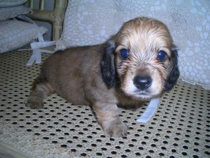 ミニチュアダックスフンドの子犬No.200906035