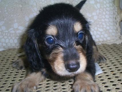 ミニチュアダックスフンドの子犬販売