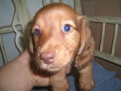 ミニチュアダックスフンドの子犬No.200906291
