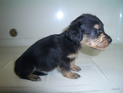 ミニチュアダックスフンドの子犬No.200909045