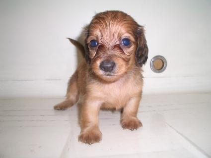 ミニチュアダックスフンドの子犬No.200909044
