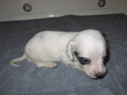 ミニチュアダックスフンドの子犬No.200911031