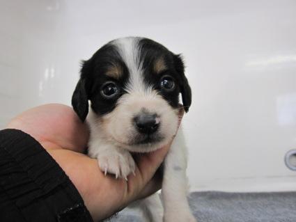 ミニチュアダックスフンドの子犬No.200911032