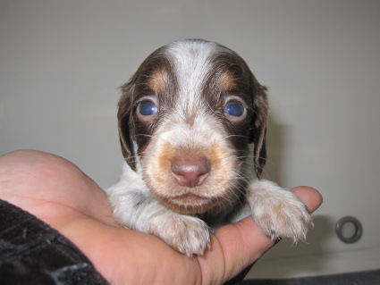 ミニチュアダックスフンドの子犬No.200911033