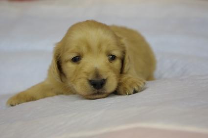 ミニチュアダックスフンドの子犬No.200912211