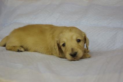 ミニチュアダックスフンドの子犬No.200912212