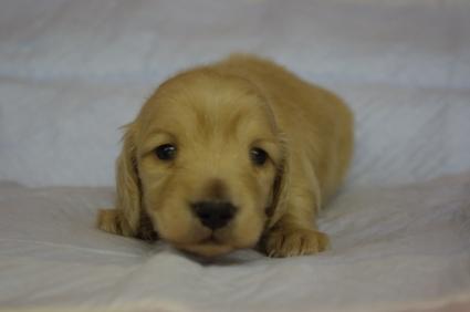 ミニチュアダックスフンドの子犬No.200912213