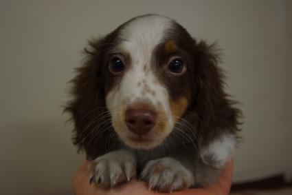 ミニチュアダックスフンドの子犬No.201003061