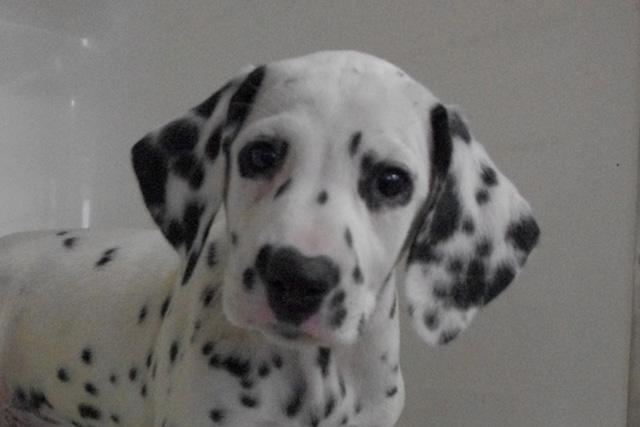 おすすめの子犬ダルメシアン