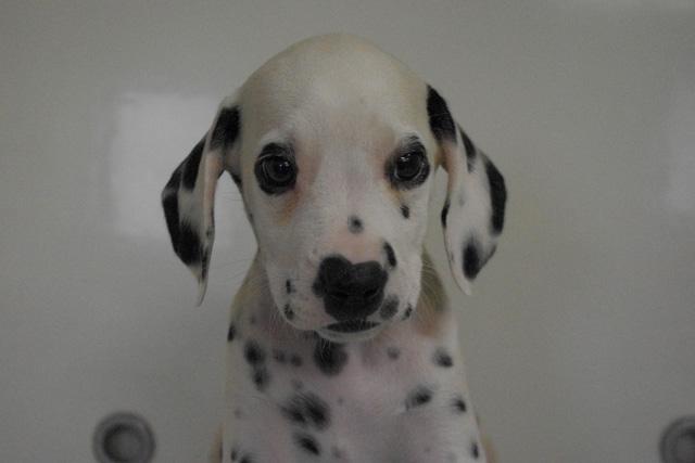 ウィペットの子犬