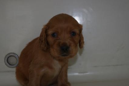 イングリッシュコッカースパニエルの子犬