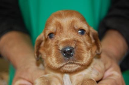 イングリッシュコッカースパニエルの子犬No.200811072