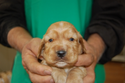 イングリッシュコッカースパニエルの子犬No.200811071