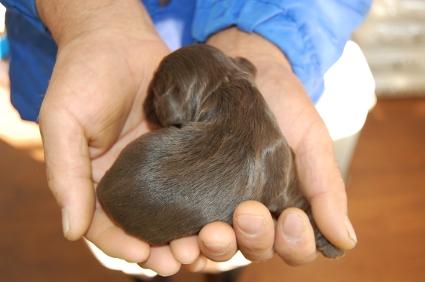 アメリカンコッカースパニエルの子犬No.200812073-2