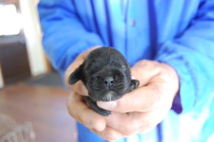 アメリカンコッカースパニエルの子犬No.200812074
