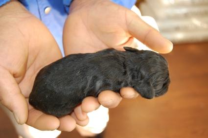 アメリカンコッカースパニエルの子犬No.200812074-2