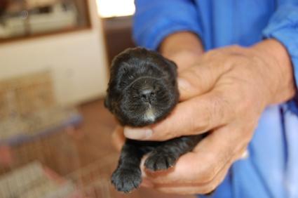 アメリカンコッカースパニエルの子犬No.200812072