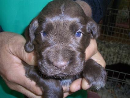 イングリッシュコッカースパニエルの子犬No.200903141