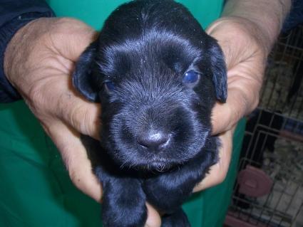 イングリッシュコッカースパニエルの子犬No.200903146